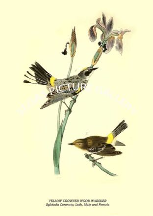 YELLOW-CROWNED WOOD-WARBLER - Sylvicola Coronata, Lath, Male and Female